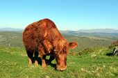 Luing Cow Above Lake Windermere