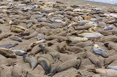 California wild Elephant Seals in Piedras Blancas point in South Big Sur inn Pacific Highway 1