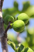 green figs on tree in spring close-up