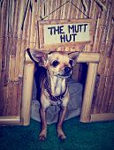a cute chihuahua in a mutt hutt done in a vintage retro instagram filter