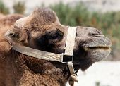 Portrait Of Camel Head