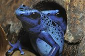 Blue Poison Frogs