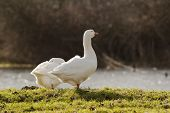 Pair Of White Geese Foraging In Grass