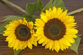 Sunflowers On Hardwood Oak Shelf