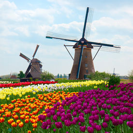 stock photo of windmills  - two dutch windmills over rows of tulips field  - JPG