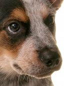 picture of blue heeler  - Close up of blue heeler puppy face - JPG