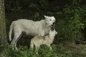 An Arctic wolf and its pup