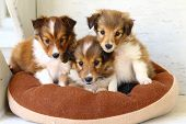 Three little Shetland Sheepdog Puppies