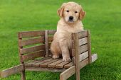 Golden Retriever puppy sitting in rustic wooden wheelbarrow