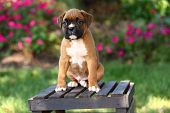 Boxer puppy sitting on wooden crate