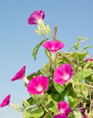 Deep pink blooms of Ipomoea purpurea, Morning Glory, climbing up on a trellis reaching for light