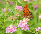 stock photo of lantana  - Gulf Fritillary butterfly feeding on colorful Lantana flowers in summer garden - JPG