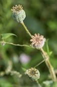 harvest of opium from green poppy