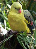 Regent Papagei