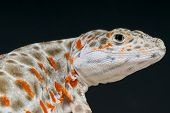 pic of lizards  - The leopard lizard is a medium sized voracious desert predator from the Southern USA and Mexico - JPG
