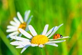 Two Daisies And Ladybug In A Summer Field