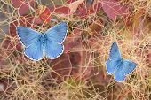 picture of ero  - Two beautiful butterflies polyommatus eros on fustet shrub in autumnal colors - JPG