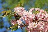 Branch With Cherry Blossoms And Leaves