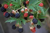 Branch With Blackberries At Harvest Time