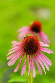 Bee on Purple Coneflowers (Echinacea)