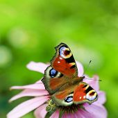 European Peacock butterfly (Inachis io) on Purple Coneflowers (Echinacea)