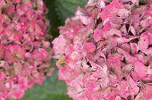 Hydrangea Hortensis blossom