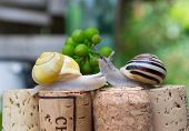 Snails on wine corks in a Summer Garden