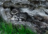 Trio Of Baby Raccoons (procyon Lotor) Huddle In Tree