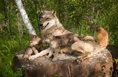 Grey Wolf (canis Lupus) And Pups Lie On Rock Together