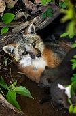 Grey Fox Vixen (urocyon Cinereoargenteus) Lies In Den With Her Kits