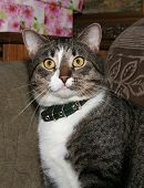 Striped Cat In Collar Sitting On Couch