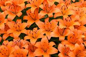 Wet Orange Lilies