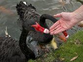 Hand Feeding a pair of Swans