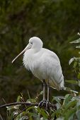 Royal Spoonbill On A Perch