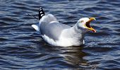 An aggressive Herring Gull