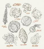 Vector Drawing Of Cabbage Set