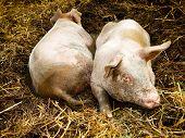 Two Pigs In Pigpen