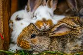 Cottontail bunny rabbits eating grass in the garden