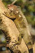 Iguana On A Tree Branch In The Sun