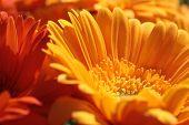 Orange Gerbera Flowers