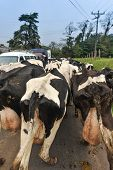 foto of excrement  - Diary cows walking on a road blocking traffic flow - JPG