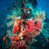 Vibrant pink soft coral (Dendronephthya hemprichi), buzzing with tropical Lyretail anthias (Pseudanthias squamipinnis). Straits of Tiran, Red Sea, Egypt.