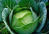 stock photo of water cabbage  - the garden cabbage with water drops is growth in winter - JPG