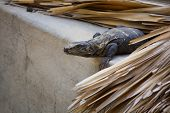 Iguana Living In The Roof Hunting Puerto Escondido Mexico