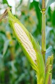 foto of corn stalk  - Closeup corn on the stalk in the corn field - JPG