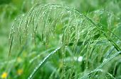 Drops On Stalk Of Grass