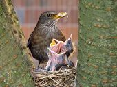 blackbird mother with her babies