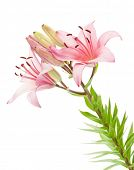 Pink lily flower. Isolated on white background