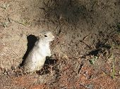 stock photo of gopher  - the gopher came out from a hole in the sun - JPG