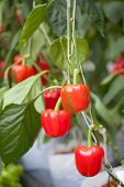 Red Sweet Pepper, Cooking Raw Material On Plant